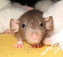 Miniature Giant Space Rat by DreamEyce