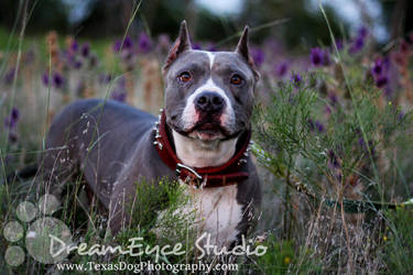 Sasha American Bully Rescued! by DreamEyce