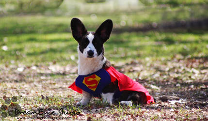 Superman Clark the Cardi Puppy by DreamEyce