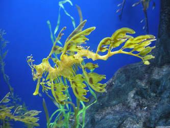 Leafy Sea Dragon by justinmanuel28