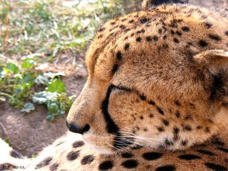 Cheetah closeup by PaPeRDoLLLL