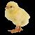 Chick icon.2
