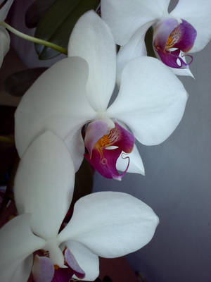 Orchid by renipetrova