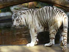 White Tigeress by Dk-Raven