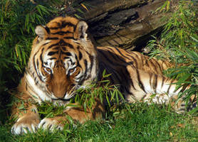 Tiger beauty by Dk-Raven