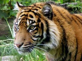 Sumatran Tiger 2 by Dk-Raven
