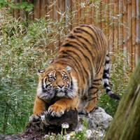 Sumatran Tiger 3 by Dk-Raven
