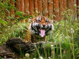 Sumatran Tiger 4 by Dk-Raven