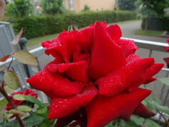 Rose by sott2624
