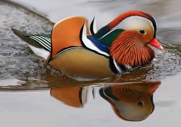 Mandarin Duck (male) by NurturingNaturesGift