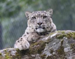 Snow Leopard by NurturingNaturesGift