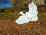 Little Egret by NurturingNaturesGift