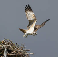Juvenile Osprey 2017 by NurturingNaturesGift