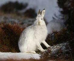 Mountain Hare by NurturingNaturesGift
