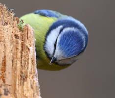 Blue Tit by NurturingNaturesGift