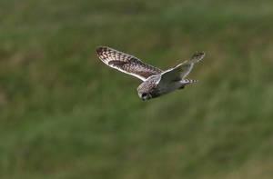 Short-eared Owl by NurturingNaturesGift