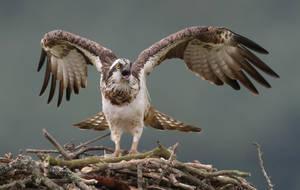 Osprey mantling by NurturingNaturesGift