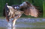 Osprey fishing by NurturingNaturesGift