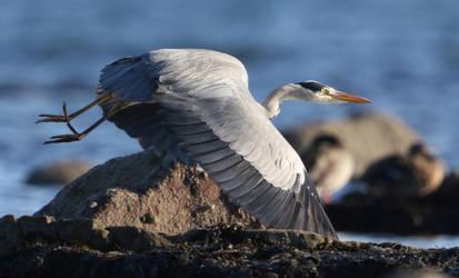 Grey Heron by NurturingNaturesGift