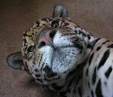 Mr Jaguar by Henrieke