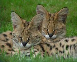 Sleepy servals by Henrieke