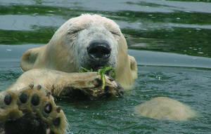 Polar bear bath by Henrieke