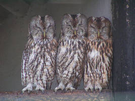 Tawny Owls by Henrieke