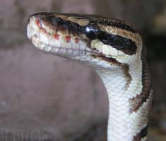 Curious python by Henrieke