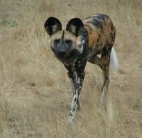 Majestic wild dog by Henrieke