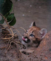 Cougar cubby by Henrieke