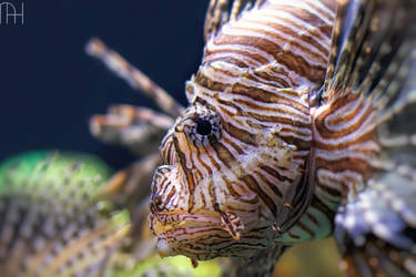 Lionfish by nader-tharwat