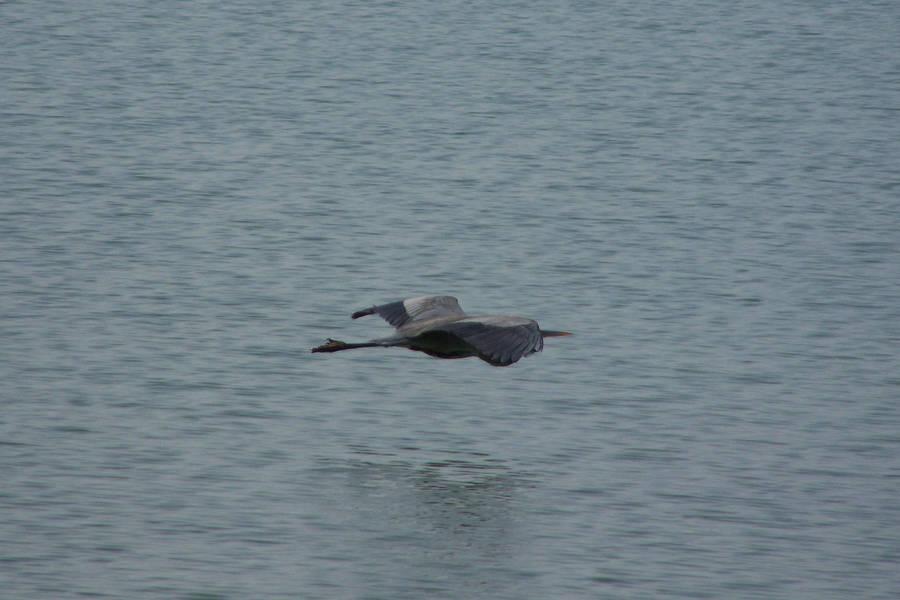 Crane in Flight by AthenaIce