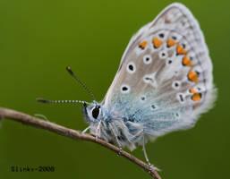 Chalkhill blue macro by Slinky-2012