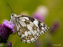 Marbled white by Slinky-2012
