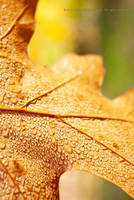 Autum Leaf in Dew Drops by MoonPriestessLaguz