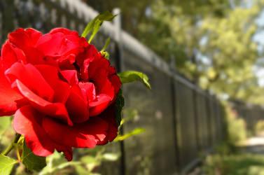 Rose Expirment by DragonKinfolk