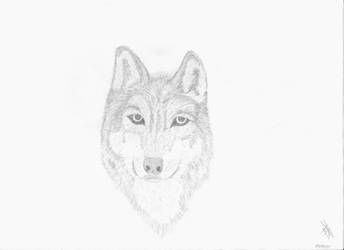 Staring Wolf by Francolm