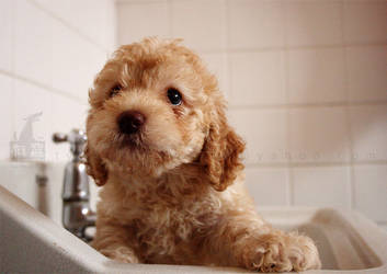 puppy poodle 13 by WeiTat