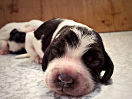 puppy cocker 17 by WeiTat