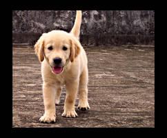 puppy Golden 19 by WeiTat