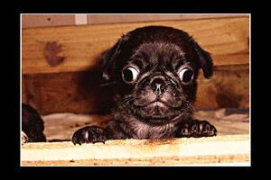 Puppy Pug 21 by WeiTat