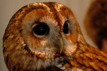 Star, the Tawny Owl by Earth-Hart