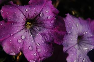 Purple Rain Macro by Shotgunbobeh