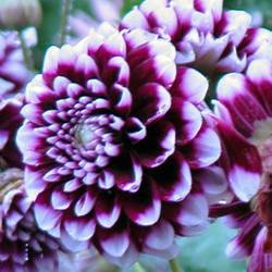 Glenveagh Chrysanthemum by khynnea