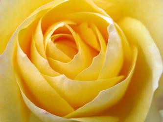 Yellow Rose by khynnea