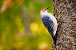 Red Bellied Woodpecker by bad95killer