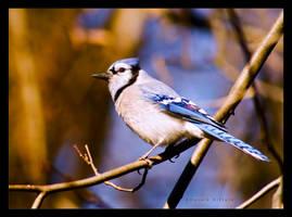 blue jay in winter by bad95killer