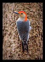Red Bellied Woodpecker II by bad95killer