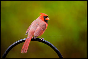 male northern cardinal by bad95killer