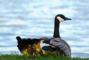 baby geese by bad95killer
